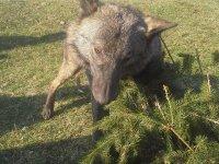 Crni vuk u sekciji Bare