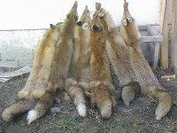 Odstreljene lisice
