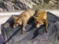 Nastradale lisice